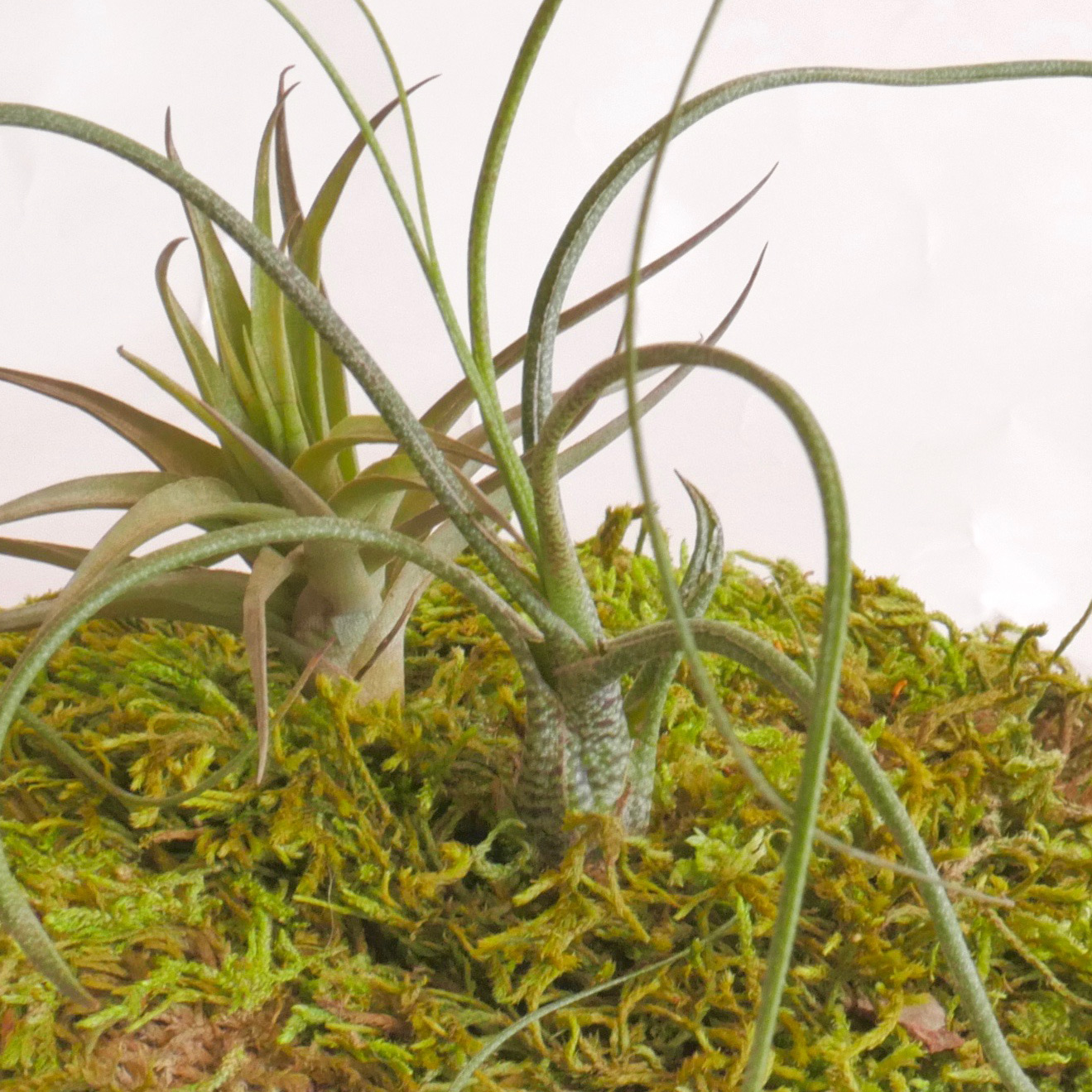 moss art centerpiece, air plant, air plant care, how to care for your air plant