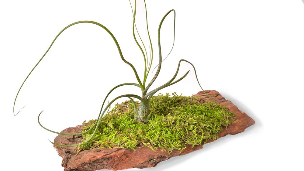 moss art bark centerpiece, moss art, moss, air plant, air plant care, how to care for air plant