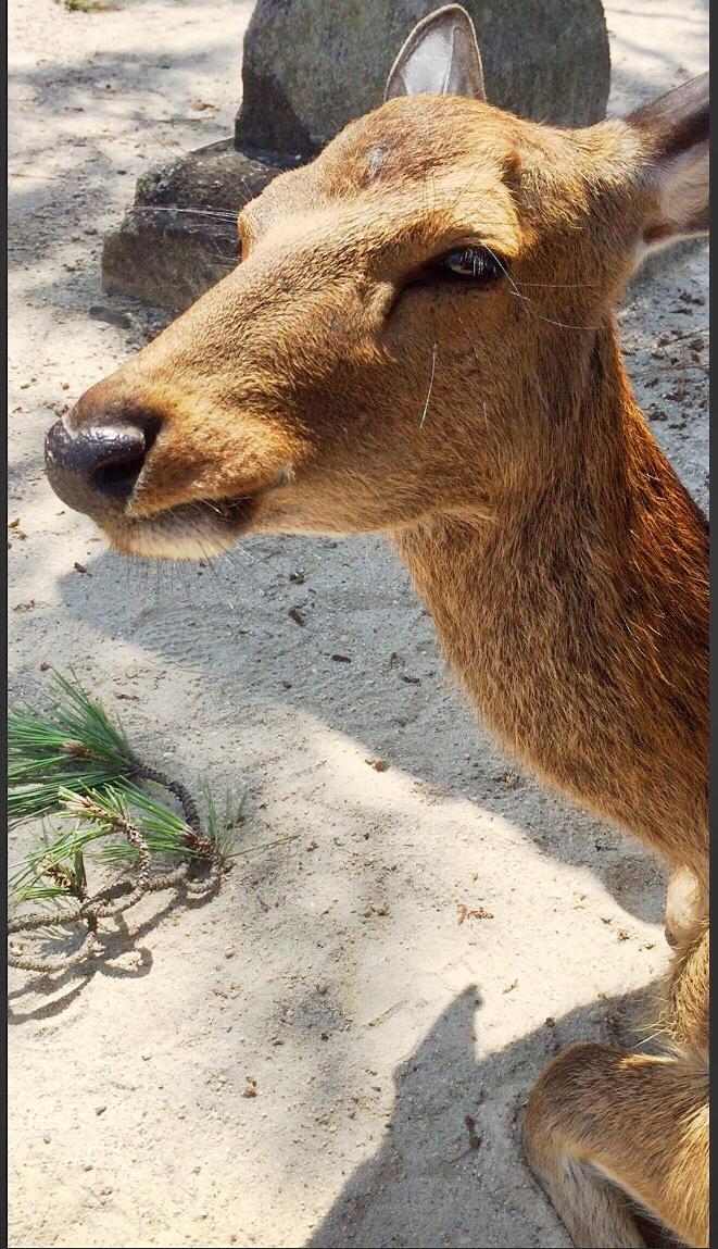 Miyajima Deer Island